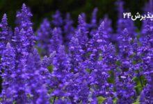 مریم گلی | خواص و کاربردها