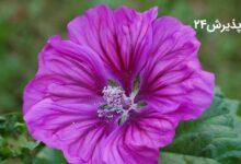 گل ختمی، خواص گل ختمی برای مو، فواید و مضرات گل ختمی برای پوست